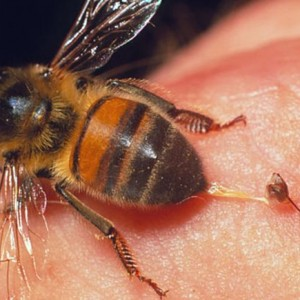 abelhapicada
