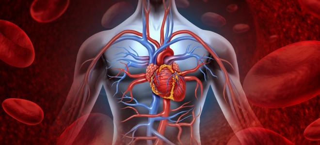 Funcionamento do sistema cardiovascular está baseado no batimento cardíaco. Foto: Shutterstock
