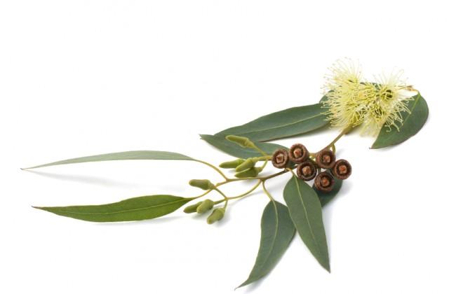 beneficios-do-eucalipto