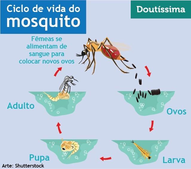 infográfico ciclo de vida do mosquito