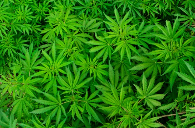 uso medicinal da cannabis
