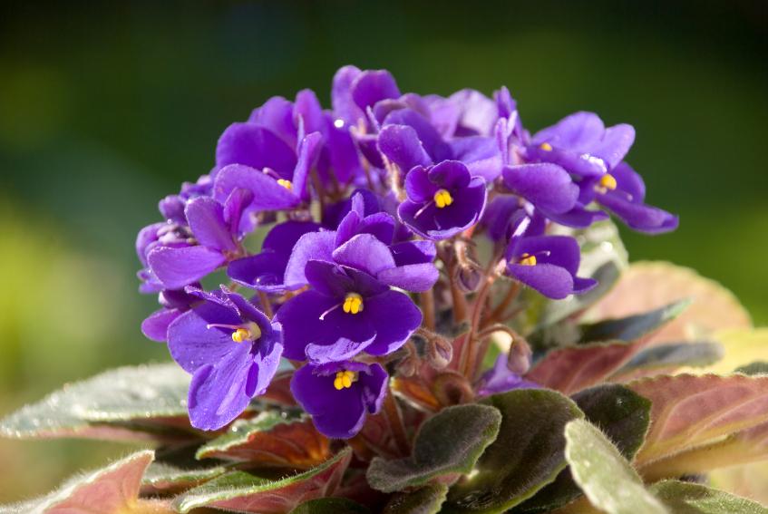 violetas-iStock- Getty-Images-doutissima